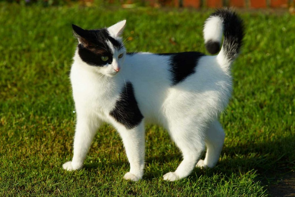 black and white cat standing on grass