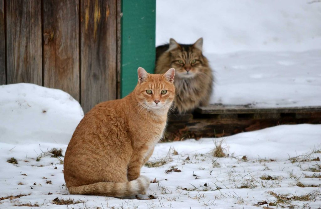 two cats by a fence in snow