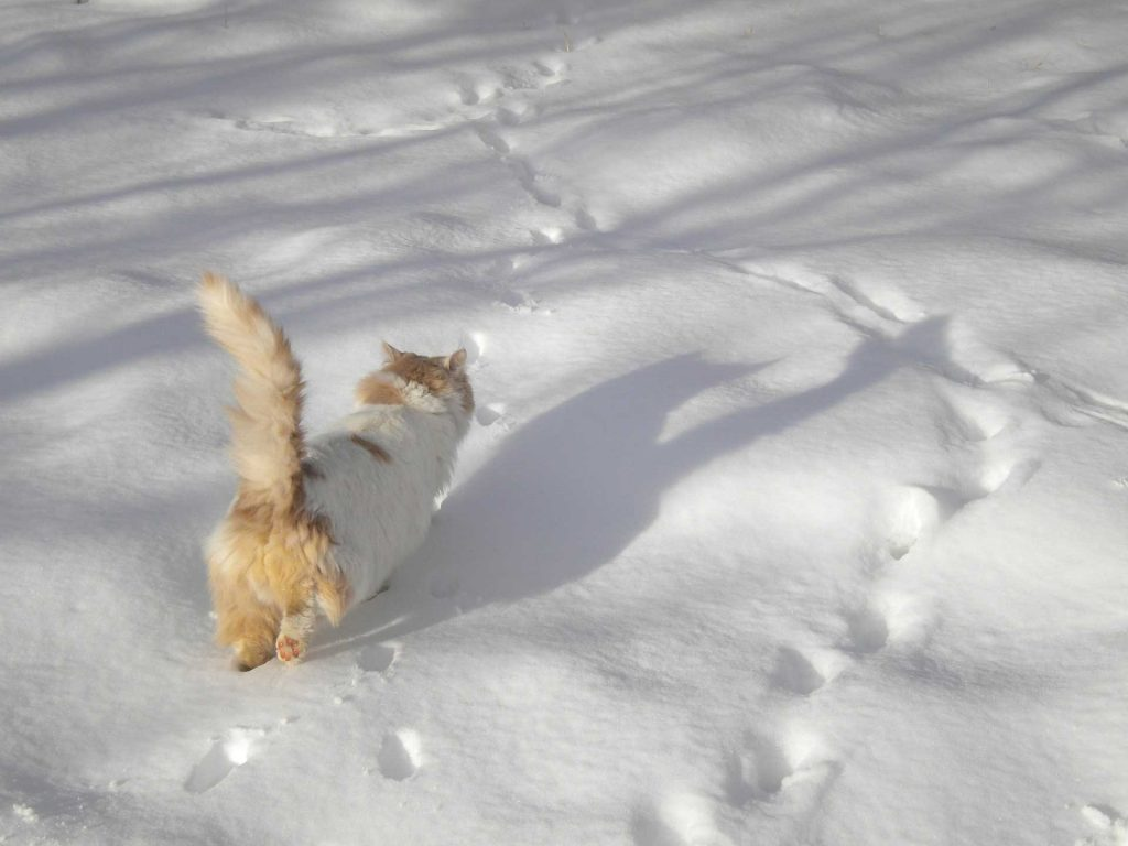 ginger and white get walking through deep snow