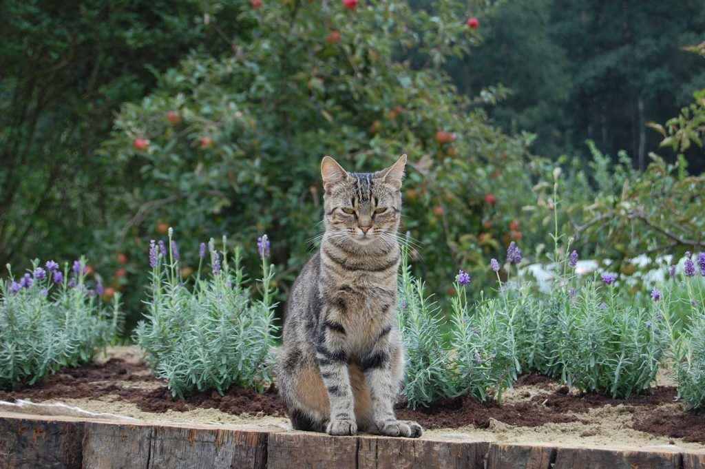 Cat sitting in front of lavender plants