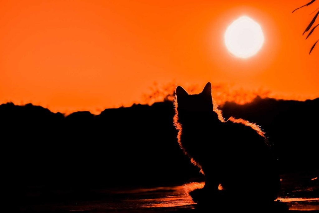 silhouette of cat at sunset