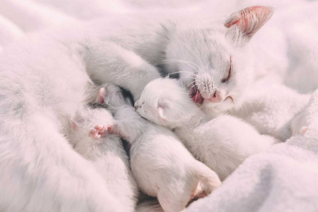 White cat with here white kittens