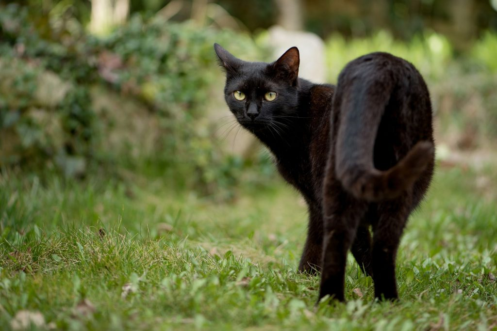 black cat looking backwards while standing on grass