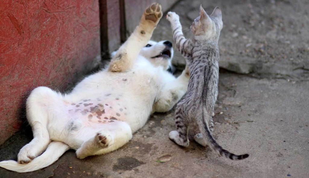 white dog and gray cat play fighting