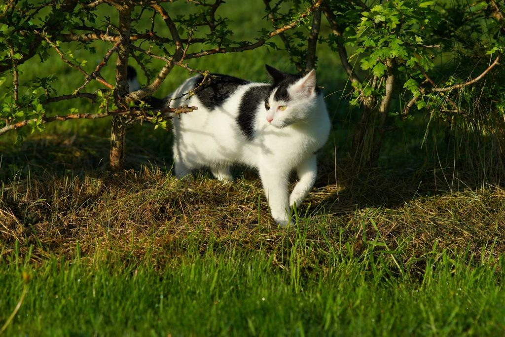 a black and white cat walking in the grass