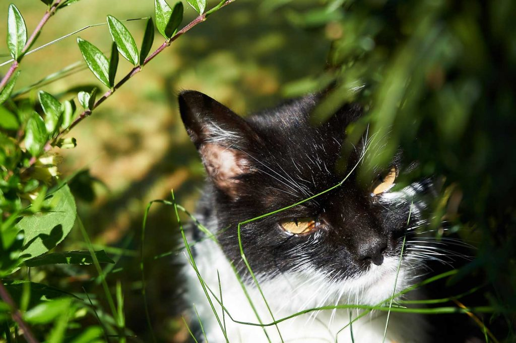 black and white cat in foliage