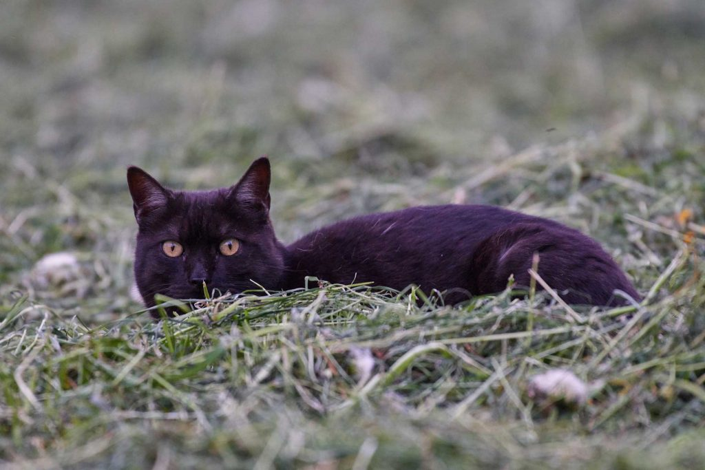 black cat crouching low in grass