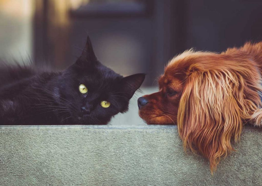 black cat laying next to golden spaniel